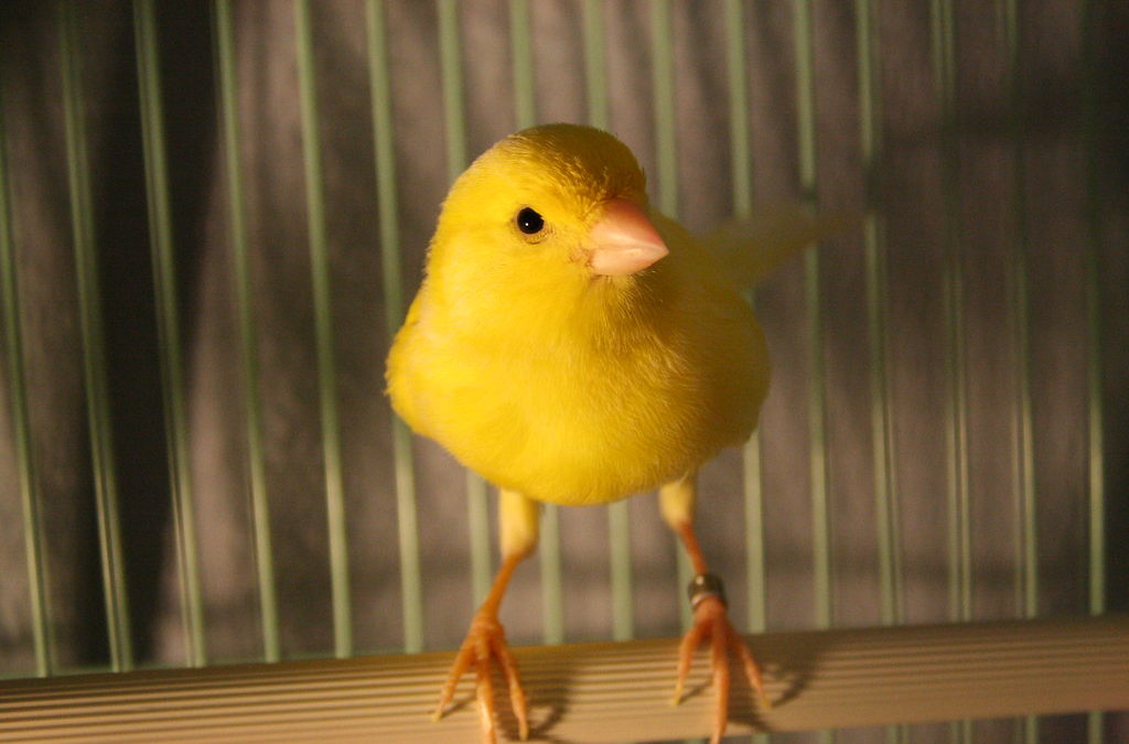 أسماء كناري الشكل المسجلة في الاتحاد العالمي لعلم الطيور COM